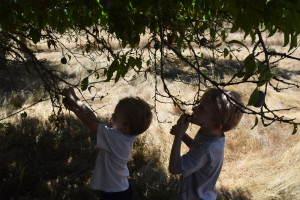 PIcking Applese and Prunes - Little boys picking prunes - Copyright Adrienne Z. Milligan